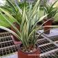 兰花苗 墨兰新品种稀有瓷白中透叶艺 兰花绿植盆栽花卉花期带花苞