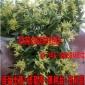养在家里的霍山仙草连盆发货正宗 霍山铁皮石斛盆苗 养生室内绿植